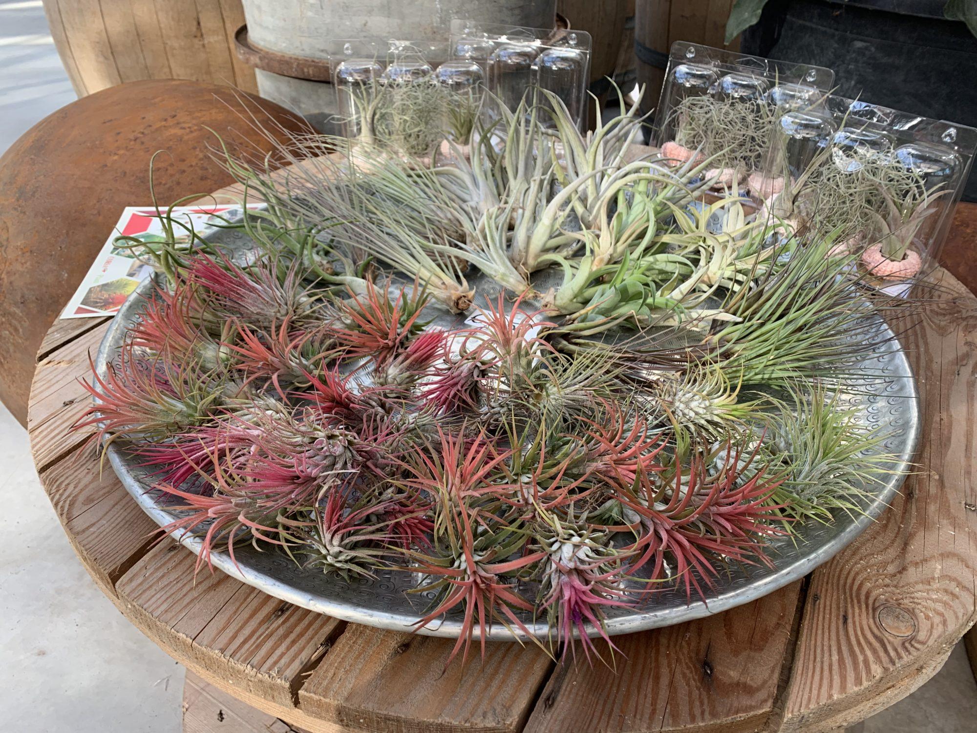 Terriccio Non Assorbe Acqua tillandsia: la pianta che vive senza terriccio - nadalini flor